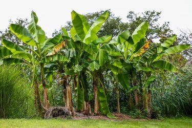 bakbanaan-plantage