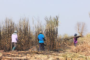 suikerriet oogst mens