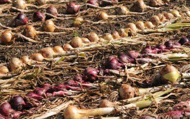 ui oogst
