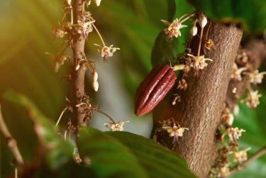 Cacao bloemen