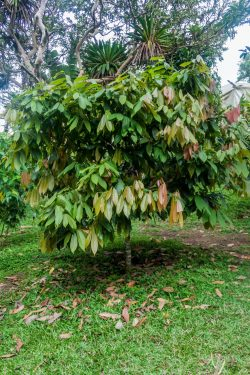 Cacao boom