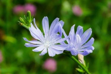 Cichorei bloemen